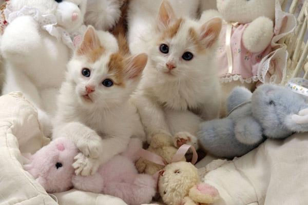 Котята турецкой кошки